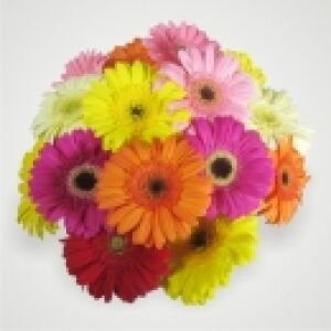 Gerbera Bunch - Mixed
